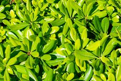 Tobira verde floral Nana do pittosporum do arbusto fotografia de stock