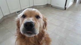 Toby el perro perdiguero Fotos de archivo libres de regalías