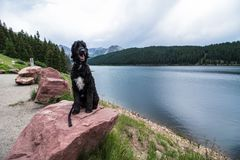 Toby the goldendoodle posing on a rock. For the camera somewhere in colorado royalty free stock images