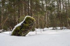 Tocón cubierto de musgo viejo debajo de la nieve Imágenes de archivo libres de regalías