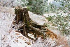 Tocón cubierto de musgo viejo debajo de la nieve en el bosque, temprano Imagenes de archivo