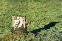 Tocón de árbol de abedul en césped Fotos de archivo