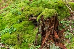 Tocón de árbol con el musgo verde Fotografía de archivo
