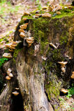 Tocón de árbol con las setas y el musgo en bosque Fotografía de archivo libre de regalías
