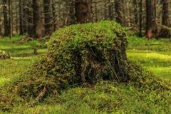 Tocón de árbol cubierto de musgo Fotografía de archivo libre de regalías