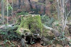 Tocón de árbol cubierto por el musgo Imágenes de archivo libres de regalías