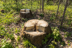 Tocón de árbol de abedul en el bosque Imágenes de archivo libres de regalías
