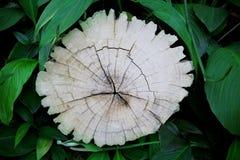 Tocón de árbol de corteza y hojas verdes de la planta en jardín Fotografía de archivo libre de regalías