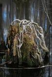 Tocón de árbol de Cypress Fotos de archivo libres de regalías