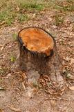 Tocón de árbol de mango Foto de archivo