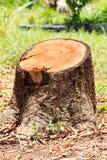 Tocón de árbol de mango Imagen de archivo