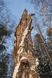 Tocón de árbol en bosque Fotografía de archivo libre de regalías