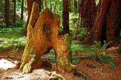 Tocón de árbol en Muir Woods Fotografía de archivo libre de regalías