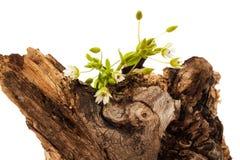 Tocón de árbol floreciente Imagenes de archivo