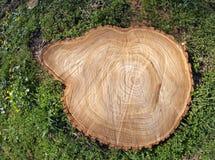 Tocón de árbol fresco del corte Imagenes de archivo