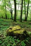 Tocón de árbol grande cubierto de musgo Fotografía de archivo