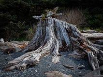 Tocón de árbol lateral del océano foto de archivo