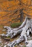 Tocón de árbol marchitado Fotos de archivo libres de regalías