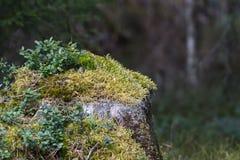 Tocón de árbol musgo-cubierto viejo Foto de archivo libre de regalías