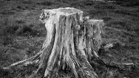 Tocón de árbol muy viejo de la descomposición en la granja de Nueva Zelanda foto de archivo