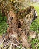 Tocón de árbol, nr Crookham Northumerland, Inglaterra Reino Unido Foto de archivo