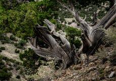 Tocón de árbol de pino de Bristlecone en una ladera Imagen de archivo