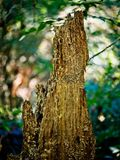 Tocón de árbol putrefacto fotografía de archivo