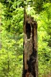Tocón de árbol putrefacto viejo Fotos de archivo