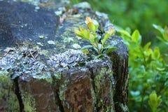 Tocón de árbol putrefacto viejo con el brote Imagen de archivo