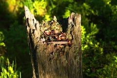Tocón de árbol putrefacto viejo con la cáscara Fotografía de archivo libre de regalías