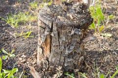 Tocón de árbol putrefacto viejo oscuro en el jardín del bosque Fotos de archivo libres de regalías