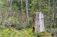 Tocón de árbol resistido viejo Imagen de archivo