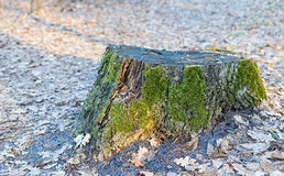 Tocón de árbol viejo Fotografía de archivo libre de regalías