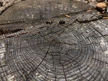 Tocón de árbol viejo - alerce, Fotos de archivo libres de regalías