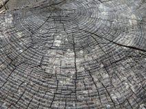 Tocón de árbol viejo - alerce, Imágenes de archivo libres de regalías