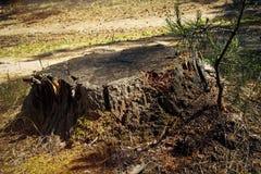 Tocón de árbol viejo en el bosque Tocón del árbol forestal Fotos de archivo