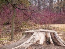 Tocón de árbol viejo en la primavera en el parque viejo Fotografía de archivo libre de regalías