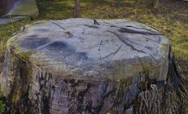 Tocón de árbol viejo grande en el jardín Foto de archivo libre de regalías