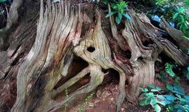 Tocón de árbol viejo hueco Foto de archivo libre de regalías