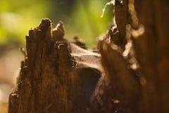 Tocón de madera del web de araña de los árboles Foto de archivo