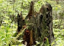Tocón de madera putrefacto viejo con el musgo y las setas en el bosque Fotos de archivo