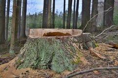 Tocón de un árbol grande derribado, Bohemia del sur Fotos de archivo