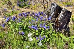 Tocón del árbol de abedul en el bosque de la primavera Fotos de archivo