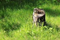 Tocón del árbol forestal Foto de archivo