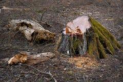 Tocón del árbol viejo Imagen de archivo