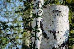 Tocón del abedul en el bosque Fotografía de archivo libre de regalías