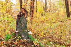 Tocón en bosque del otoño Imagenes de archivo