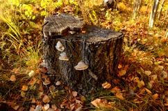 Tocón en el bosque del otoño Imagen de archivo libre de regalías