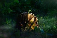 Tocón en el bosque spruce foto de archivo libre de regalías