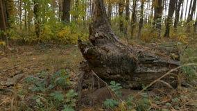 Tocón en el otoño del bosque almacen de video